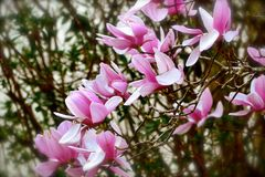 Japanese Magnolia Royalty Free Stock Image