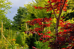 Japanese Maple. Red Japanese maple in the garden Royalty Free Stock Image