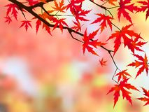 Japanese maple. Stock Image