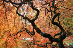 Japanese maple Stock Image