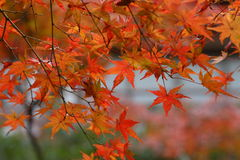 Japanese Maple. Red leaves of japanese mapple Stock Photo