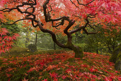 Japanese Maple Stock Images