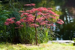 Japanese maple Stock Photography