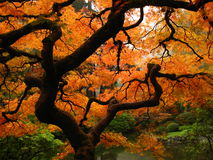 Japanese Maple. A Japanese Maple in autumn Stock Photo