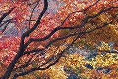 Japanese maple Royalty Free Stock Image