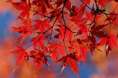 Free Japanese Maple Royalty Free Stock Images - 265369