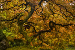 Japanese Maple. During peak color Stock Photos