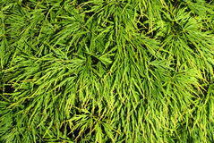 Japanese Maple. Leaves (Acer Palmatum) as a background image Stock Image
