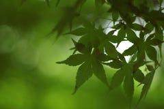 Free Japanese Maple Stock Image - 5289971
