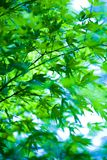 Japanese Maple. In botany, a leaf is an above-ground plant organ specialized for photosynthesis. For this purpose, a leaf is typically flat (laminar) and thin Stock Image