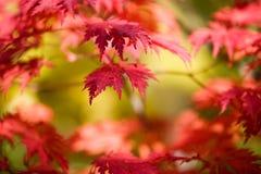 Japanese maple Stock Photography