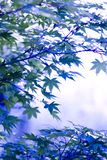 Japanese Maple. In botany, a leaf is an above-ground plant organ specialized for photosynthesis. For this purpose, a leaf is typically flat (laminar) and thin Royalty Free Stock Photo