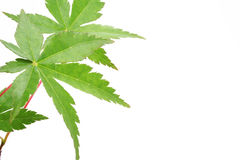 The Japanese maple. Sheet of the japanese maple is insulated on white background Royalty Free Stock Images
