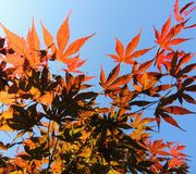 Japanese maple (Acer japonicum). Leaves of Japanese maple (Acer japonicum Royalty Free Stock Photos