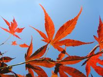 Japanese maple (Acer japonicum). Leaves of Japanese maple (Acer japonicum Stock Photos