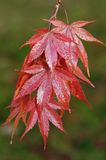 Japanese Maple - Acer palmatum Stock Image