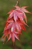 Japanese Maple - Acer palmatum.  Stock Image