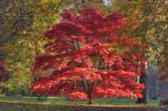 Japanese Maple - Acer palmatum Royalty Free Stock Photo
