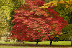 Japanese Maple - Acer palmatum Stock Images