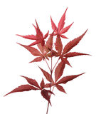 Japanese Maple (Acer palmatum). Isolated tip of branch Royalty Free Stock Photo