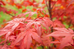 Japanese Maple Acer palmatum Stock Photos
