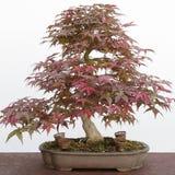 Japanese maple (Acer Palmatum) bonsai Stock Image