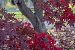 Japanese Maple Acer palmatum Stock Image