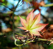 Japanese Maple Or Acer Palmatum Leaf Stock Images