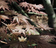 Japanese Maple Or Acer Palmatum Leaves Royalty Free Stock Image