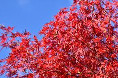 Japanese maple branch with red leaves. Vibrant autumn colors. stock photo
