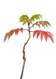 Japanese Maple Acer Sapling Vivid Colors Stock Images
