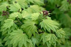 Japanese Maple (Acer shirasawanum Aureum). Japanese Maple in spring with flower Stock Photos