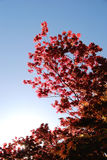 Japanese maple against blue sky. A brilliant red Japanese maple tree shines against a background of blue sky. The sun peeks through near the bottom of the royalty free stock photo