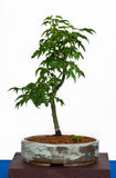 Japanese maple as bonsai Royalty Free Stock Image