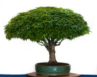 Japanese maple as bonsai tree Royalty Free Stock Photography