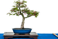 Japanese maple as bonsai tree Royalty Free Stock Photography