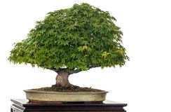 Japanese maple as bonsai tree Stock Image