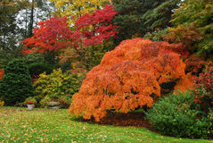Japanese Maple in the Autumn. In New England surrounded by trees and grass Royalty Free Stock Photos
