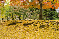 Japanese maple in autumn Royalty Free Stock Image