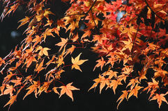 Japanese maple in autumn colors Royalty Free Stock Photos
