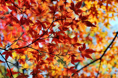 Japanese maple in autumn colors Stock Image