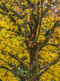 A Japanese Maple in the Autumn Royalty Free Stock Photos