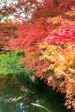 Japanese maple. In autumn season Royalty Free Stock Photography