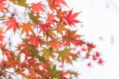 Japanese maple in autumn season for background ,Lake Kinrinko Yu. Fuin Japan Stock Image