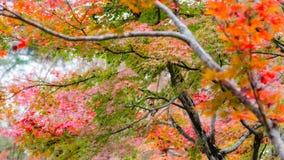 Japanese maple in autumn season for background ,Lake Kinrinko Yu. Fuin Japan Royalty Free Stock Photo