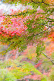 Japanese maple in autumn season for background ,Lake Kinrinko Yu. Fuin Japan Royalty Free Stock Photography