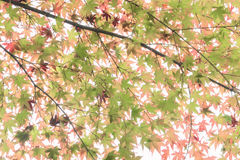 Japanese maple in autumn season. At Lake Kinrinko Yufuin Japan Royalty Free Stock Image