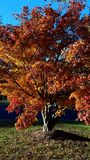 Japanese Maple in autumn royalty free stock photo