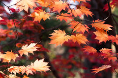 Japanese Maple Royalty Free Stock Images