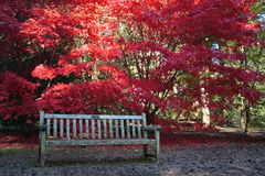 Japanese Maple and bench Royalty Free Stock Image